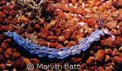 Blue Dragon Nudibranch crawling over an underground sprin... by Marylin Batt 